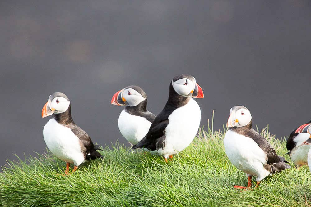 Ingolfshofdi has a big Puffin population and is 20 kilometers east of Hotel Skaftafell